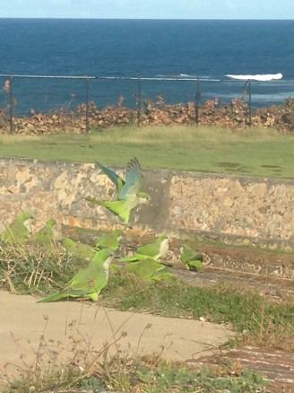 Parrots at San Cristobal Fort