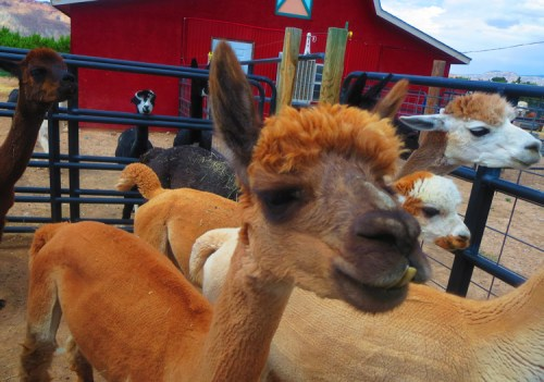 Freshly shorn alpacas greet visitors at Suncrest Orchard Alpacas. Who wouldn't fall in love with that face?  Credit: Wendy Lemlin