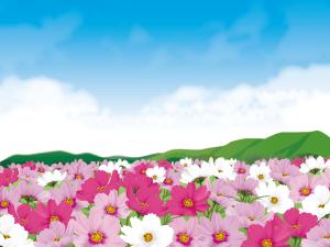 cosmosfield3,コスモス畑
