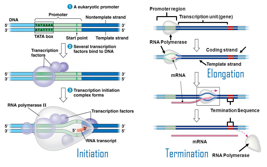 Transcription Synthesis Steps From Messenger RNA To DNA - Botany Studies