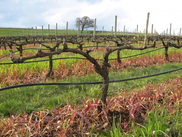 Pre-Pruning in the Vineyard: Disease Prevention and Vine Life Extension