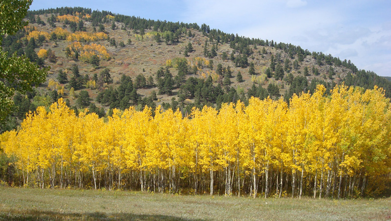 Fall Wallpaper With Deer Quaking Aspen Flaming Forests Of Fall Images