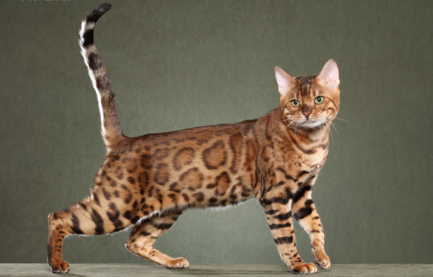 Bengal Kittens For Sale In Georgia Breeder Brown Silver