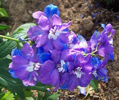 Poppular Photography Purple Blue Flowers