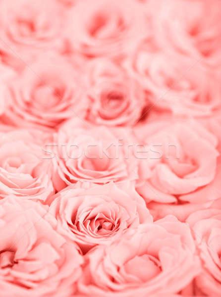 Glossier Iphone Wallpaper Rosa 183 Rosas 183 Fundo 183 Fresco 183 Foco 183 Flor Foto Stock