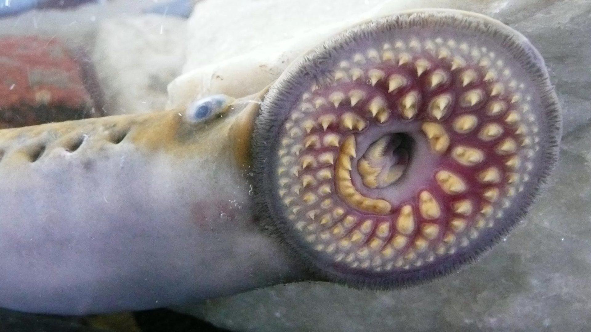 Lamprey Bite Sea Lamprey Human Attack Excellent Sea Lamprey Human