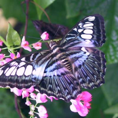 This is an image of a butterfly resting on pink flowers.