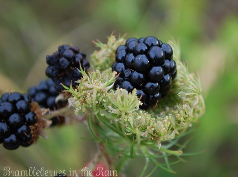 Himalayan Blackberry sitting in a Queen Anne's Lace flower