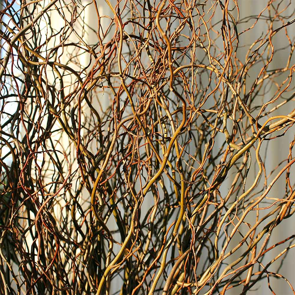 Gyp Flowers Baby's Breath Fresh Curly Willow Branches, 4-5 Feet, Green
