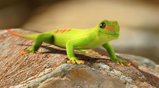 Cute Leopard Gecko Wallpaper Day Gecko Branson S Wild World