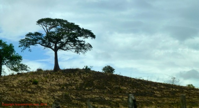 guancaste trees costa rica