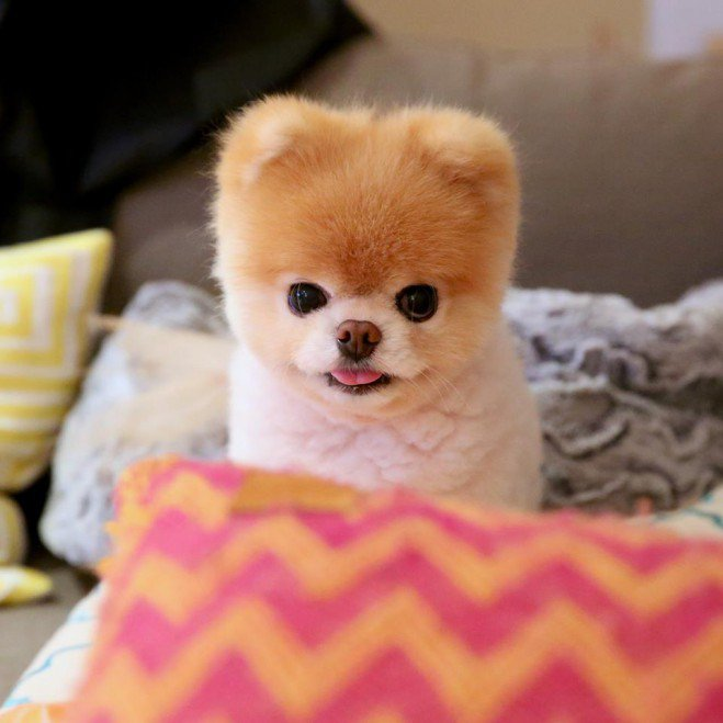Wallpaper Perritos 3d Boo Le Chien Le Plus Mignon Du Monde Breakforbuzz