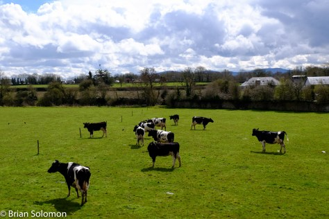 Cows in rural Co. Tipperary as view along the Nenagh Branch on Saturday.
