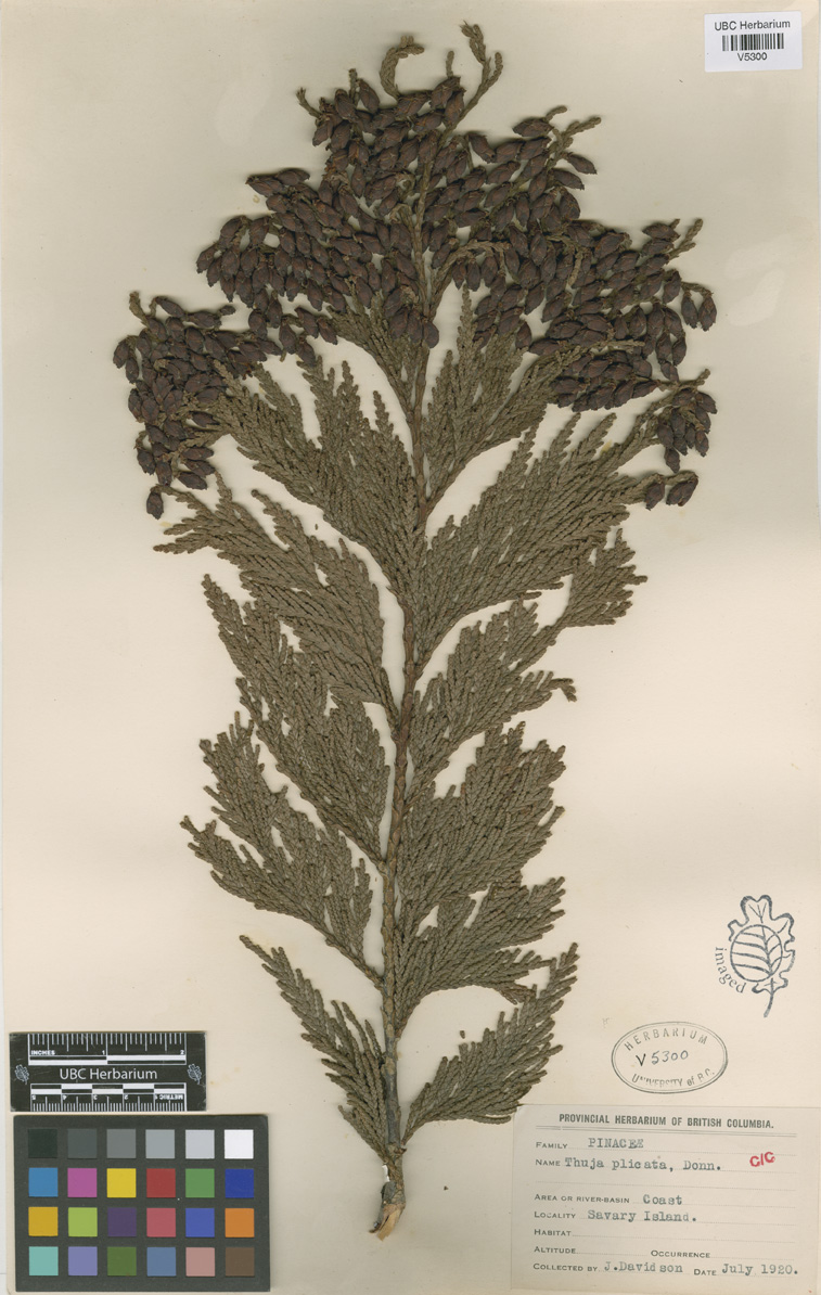 Thuja Lm 18 Cpnwh Search Results