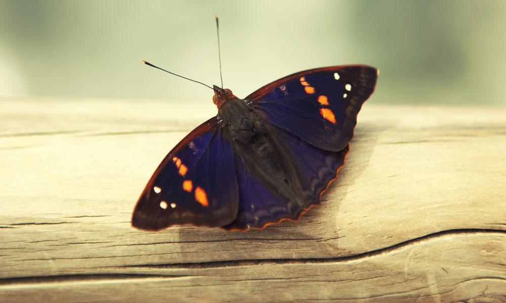 Splendid butterfly