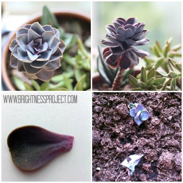 How to propagate an echeveria succulent