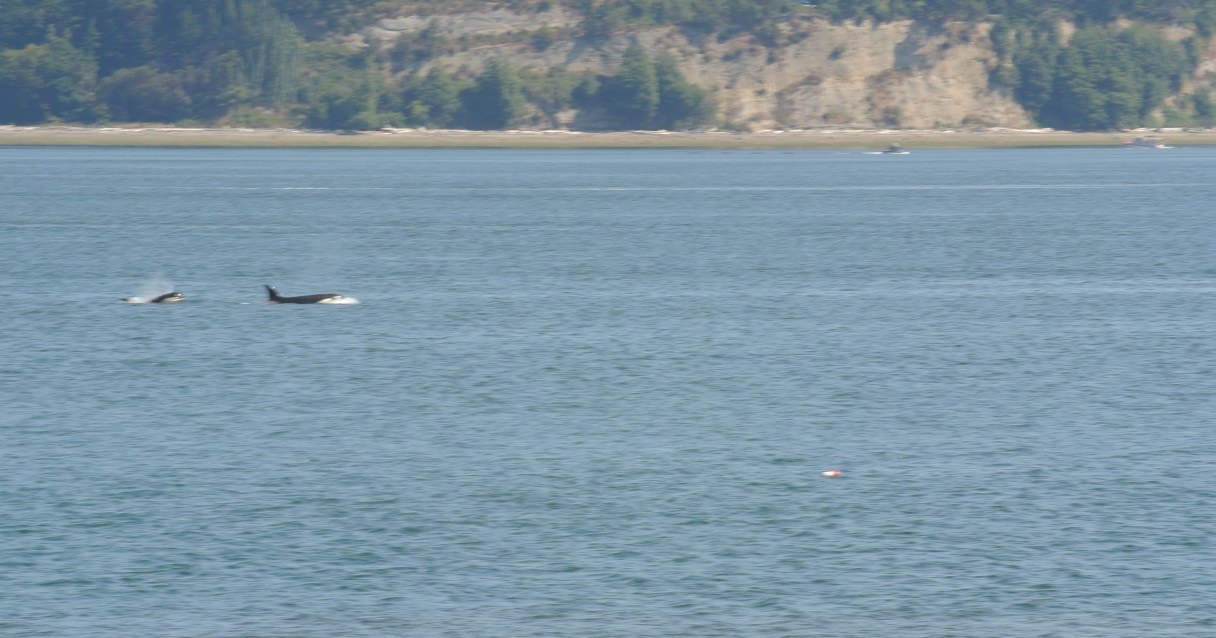 Sadly blurry picture of an adult and baby Orca swimming by