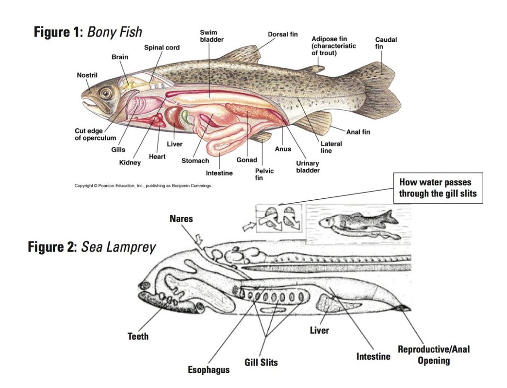 Lamprey Diagram Lamprey Diagram Related Keywords Lamprey Diagram Long