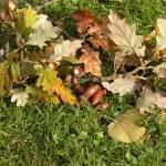 Acorns & oak leaves