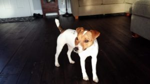 Jack Russell Terriers Getting Into Trouble Again