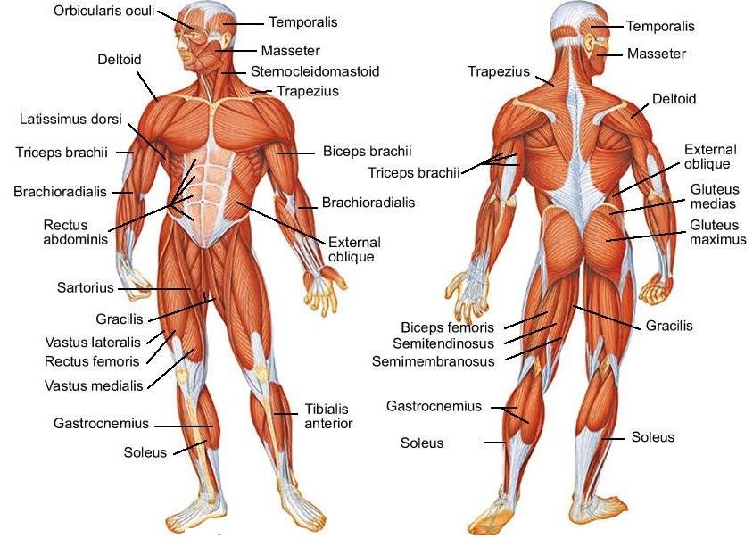 Muscle Diagram brittney taylor