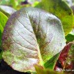 Lovin' this Lettuce!