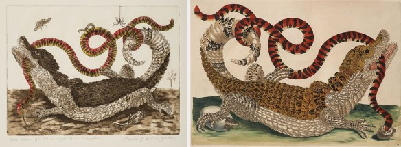 """Left: Monika E. de Vries Gohlke, """"Caiman"""" After Maria Sibylla Merian and Daughters, 2012; Etching and aquatint, hand colored, on paper, 11 1/4 x 15 1/4 in.; NMWA, Gift of the artist; Right: Maria Sibylla Merian, Plate 69 from Dissertation in Insect Generations and Metamorphosis in Surinam, 2nd Ed., 1719; Hand-colored engraving on paper, 14 1/4 x 20 1/2 in.; NNMWA, Gift of Wallace and Wilhelmina Holladay"""