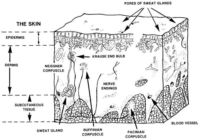diagram of sweat glands valves