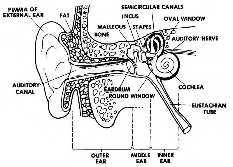 intestine fetal pig diagram