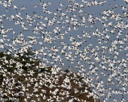 SnowGeese5