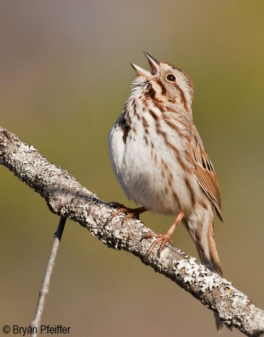Song Sparrow / © Bryan Pfeiffer