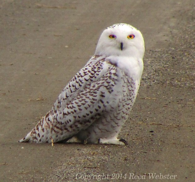 reed-snowy-owl