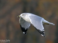 Winter adult Ring-billed Gull / © Bryan Pfeiffer
