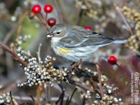 yellow-rumped-warbler-poison-ivy-2-1280x975
