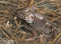 wood-frogs-amplexus-1280x920