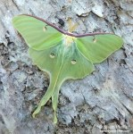 Luna Moth (Actias luna) in Steuben, Maine, on 16 July 2015