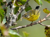 Prairie Warbler / © Bill Thompson