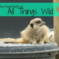 meerkat at all wild things feature