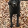 Black labrador on leaves