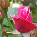 My Sunday Photo – rosebud