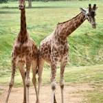 My Sunday Photo – giraffe love