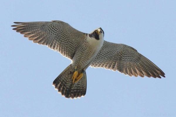 Peregrine-Falcon-web