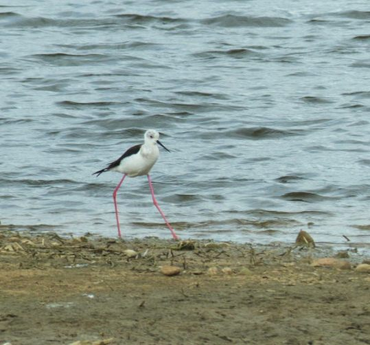 Black-winged Stilt-MA