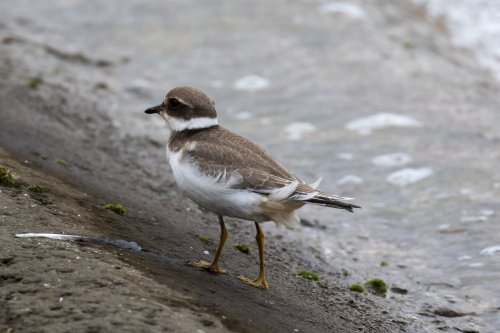 Ringed Plover-1400