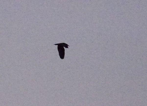 p1320642-black-crowned-night-heron-1000