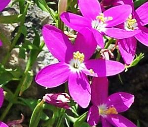 Mountain Pink Zeltnera beyrichii indiv flowers Linda C Southwest Austin 06162005 1249pm