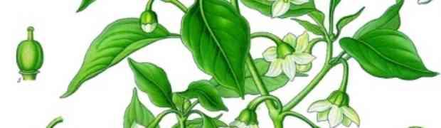 Cayenne Pepper (Capsicum annuum)