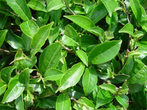 The tea plant (Camellia sinensis),