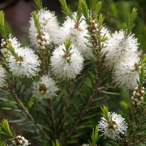 Narrowleaf paperbark tree (Melaleuca alternifolia), leaves and blossoms.