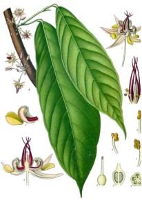 theobroma cacao 2
